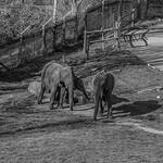 Elephants at West Midlands Safari Park